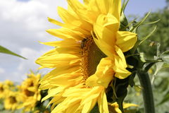 1 солнцецвет Стоковые Фотографии RF