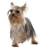 1 старый стоящий год yorkshire terrier Стоковое фото RF