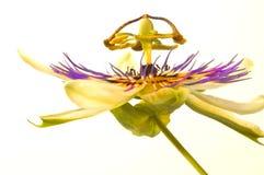 1 страсть цветка стоковое фото