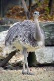 1 страус nandu Стоковое фото RF