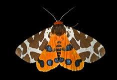 1 тигр сумеречницы caja бабочки arctia Стоковые Фотографии RF