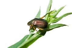 1 трава жука Стоковое Изображение RF