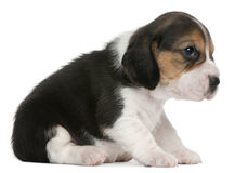 1 усаживание щенка месяца beagle старое Стоковое Изображение RF