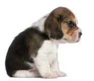 1 усаживание щенка месяца beagle старое Стоковая Фотография