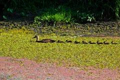 1 утка младенца ducks мать Стоковое Изображение