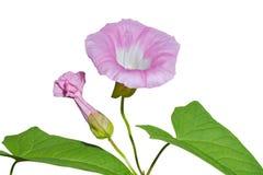 1 цветок вьюнка Стоковые Фото