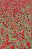 1 цветок поля Стоковое Фото
