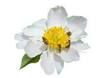 1 цветок пчел Стоковое Фото