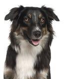 1 чабан близкой собаки австралийца старый вверх по году Стоковое Изображение