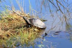1 черепаха слайдера пруда Стоковые Фотографии RF
