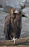 1 черный хищник Стоковое Изображение RF