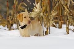 1 щенок лаборатории Стоковые Фото