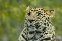 1头接近的豹子 免版税库存照片