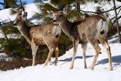 1头鹿骡子 库存照片