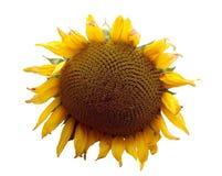 1个向日葵主题 免版税库存图片