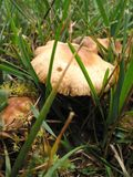 1 гриб одичалый стоковые фотографии rf