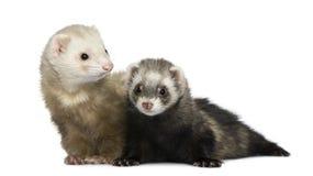 1 18 двухклассных месяцев ferrets старых Стоковое Изображение RF