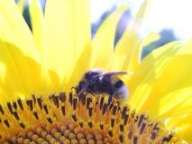 1只土蜂 库存照片