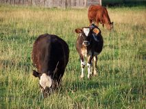 1, 2, 3 vacas? Imagens de Stock