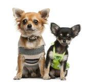 (1) 2 chihuahua miesiąc stary szczeniaka rok Zdjęcie Royalty Free