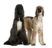 1 2 gammala två år för afghan hundar Arkivbild