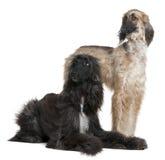 1 2 gammala två år för afghan hundar Royaltyfri Fotografi
