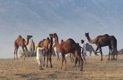 1 2009 kamel puskar ganska november Arkivfoto