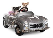 1 3 chihuahuas που οδηγούν τα παλαιά έ& Στοκ εικόνα με δικαίωμα ελεύθερης χρήσης