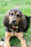 1只猎犬小狗 免版税图库摄影