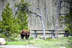 北美灰熊遭遇1 库存照片
