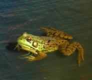 1 żaba zdjęcia stock
