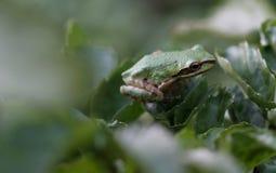 1 żaby pokojowego drzewo Fotografia Royalty Free