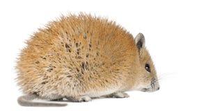 1 acomys金黄鼠标老russatus多刺的年 免版税库存照片