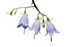 1 adenophora цветет tricuspidata Стоковое фото RF