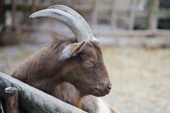 1 african goat Στοκ εικόνες με δικαίωμα ελεύθερης χρήσης