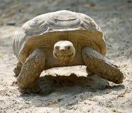 1 afrikan sporrade sköldpadda Fotografering för Bildbyråer