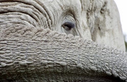 1 afrikanska elefant Royaltyfri Fotografi