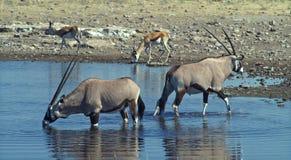 (1) afrykanina zwierzęta Fotografia Stock