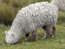1 alpaca Royaltyfria Bilder
