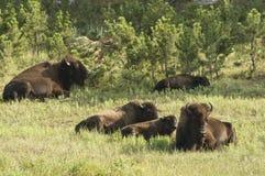 1 amerikanska buffel royaltyfria foton