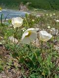 1 amure papaver amurense poppy Zdjęcie Stock