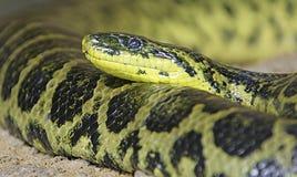 1 anaconda κίτρινο Στοκ φωτογραφία με δικαίωμα ελεύθερης χρήσης