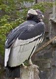 1 andean condor Arkivfoto