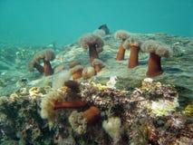 1 anemone Στοκ Φωτογραφίες