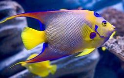 1 angelfish królowej. Obrazy Royalty Free