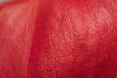 1 anthurium Στοκ εικόνα με δικαίωμα ελεύθερης χρήσης