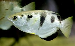 1 archerfish Royaltyfria Bilder