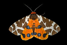 (1) arctia motyli caja ćma tygrys Zdjęcia Royalty Free