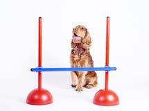 1 år för spaniel för cockerspanielhund male gammala Arkivfoto