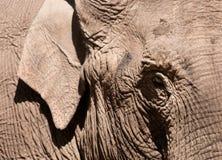 1 asiatiska elefant Royaltyfria Bilder